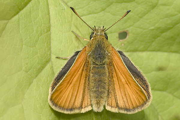 Essex Skipper butterfly top view