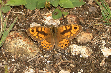 Wall Brown with outspread wings