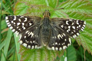Grizzled Skipper butterfly top view