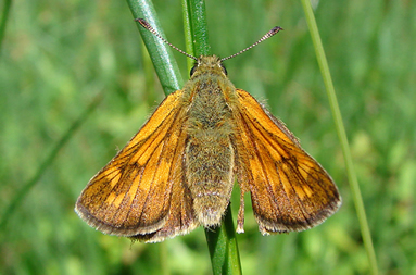Large Skipper butterfly top view