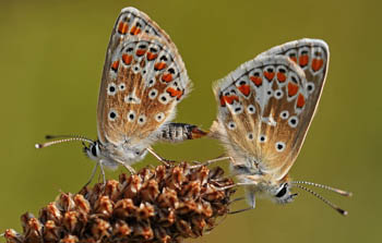 Pair of Brown Argus butterflies mating