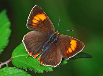 Brown Hairstreak butterfly upperside