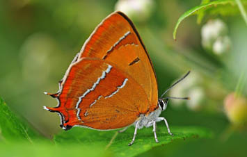 Brown Hairstreak underside