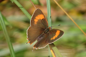 Brown Hairstreak upper wings