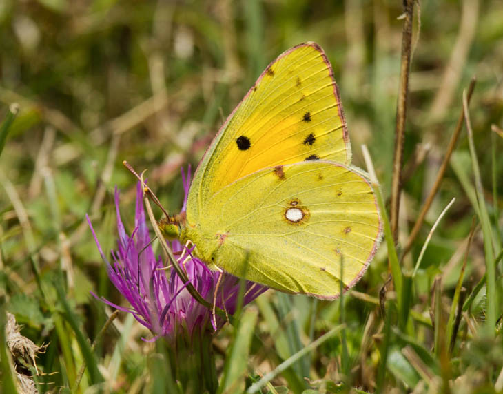 Clouded Yellow butterfly side view