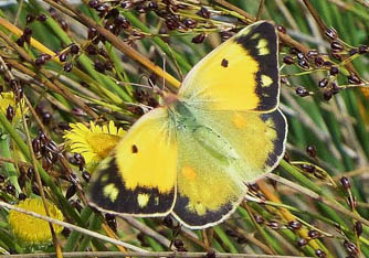Clouded Yellow - upper wings