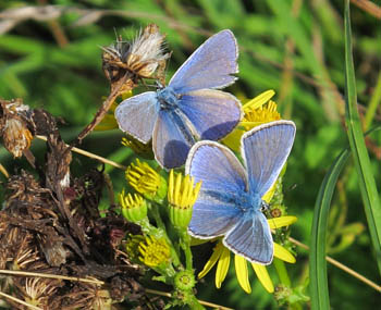Two male Common Blue butterflies