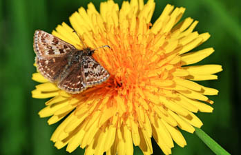 Dingy Skipper butterfly looking very small on a dandelion-type flower