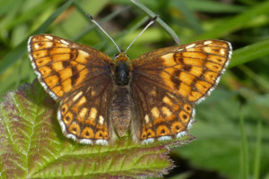 Duke of Burgundy light aberration