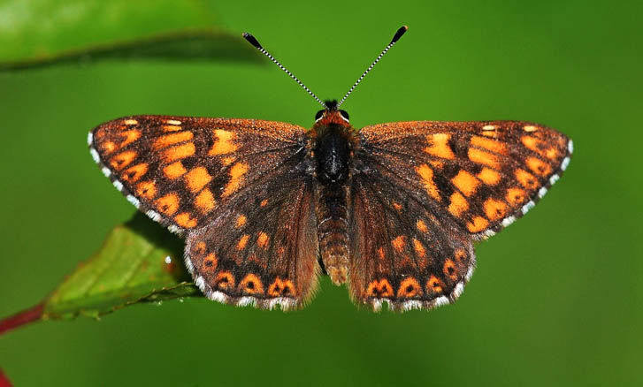 Duke of Burgundy butterfly with open wings