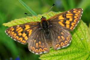 Duke of Burgundy, top wings