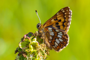 Duke of Burgundy underwing