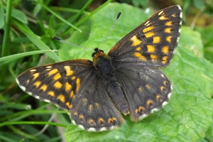 Duke of Burgundy dark aberration