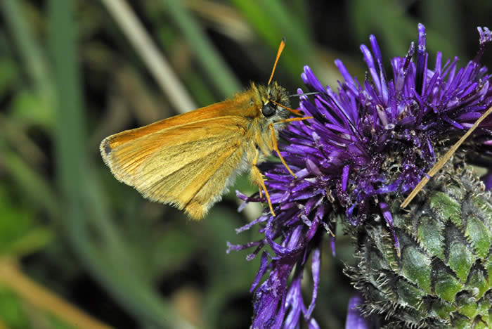 Essex Skipper side view