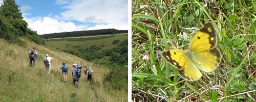 Left: Walkers on Fontmell Down. Right: Clouded Yellow