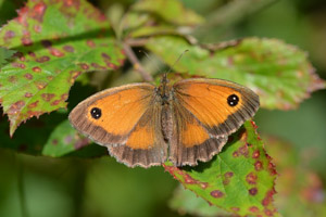 Gatekeeper upper wings