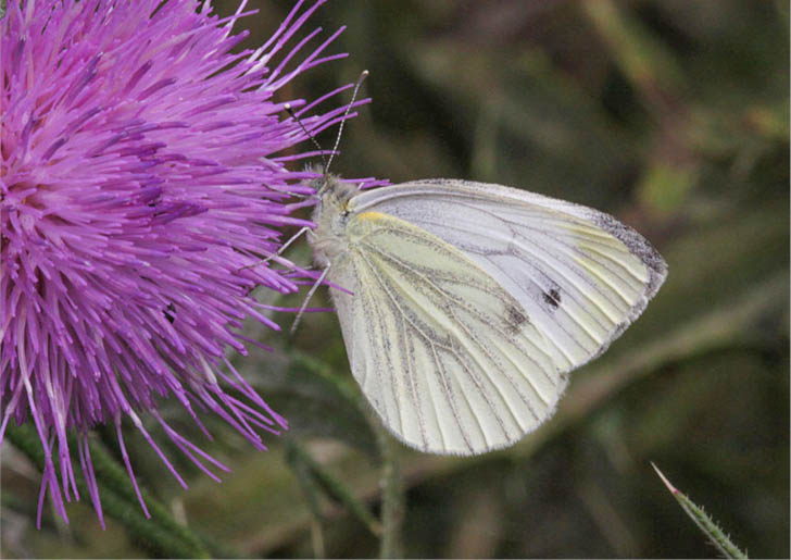 Green-veined White side view, showing the veins