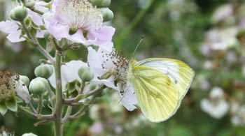 Green-veined white butterfly on a bramble flower