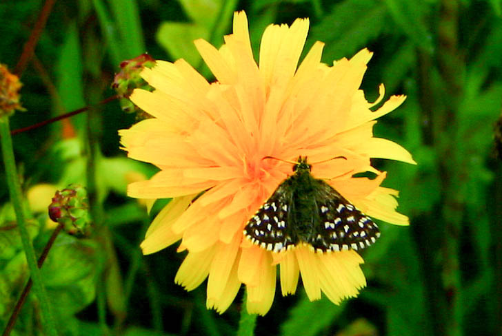 Grizzled Skipper on a dandelion-like flower, showing how small the butterfly is.