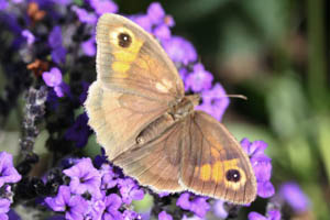 Meadow Brown view of top of wings