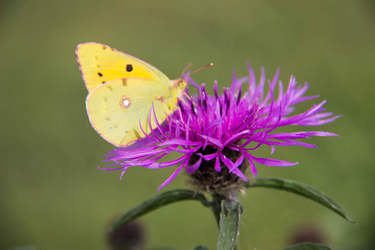 Clouded Yellow under wings