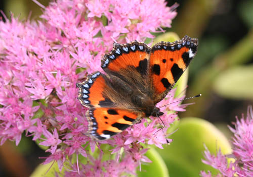 Small Tortoiseshell on sedum spectabile