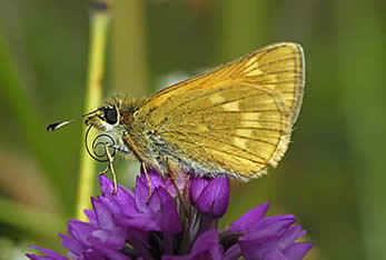 Large Skipper side view
