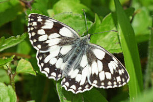 Marbled White view of top wings