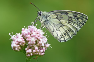 Marbled White underwing