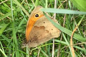 Meadow Brown underwings