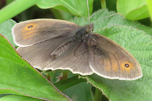 Meadow Brown view of upper wings