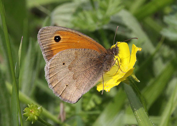 Meadow Brown side view showing one white dot in the eye spot
