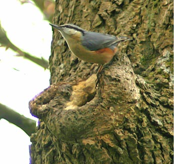 Nuthatch on treetrunk