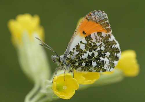 Orange Tip on cowslip