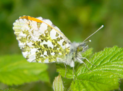 Side view of male Orange Tip