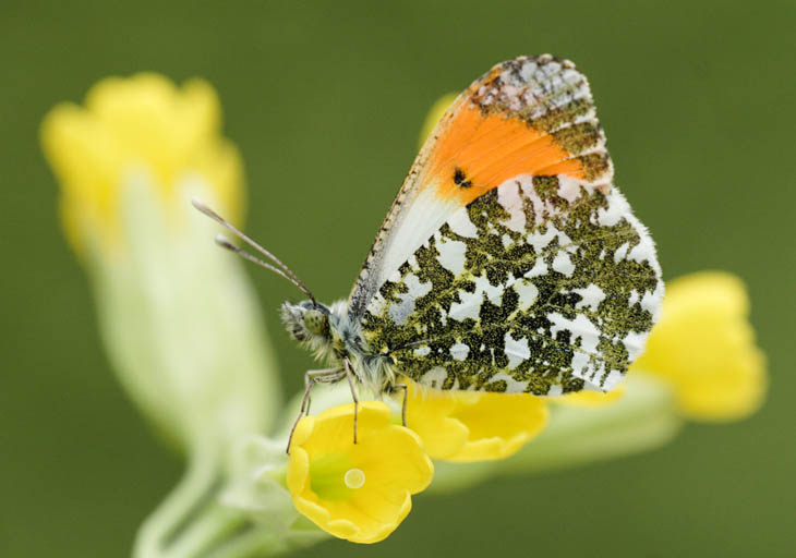 Male Orange Tip side view