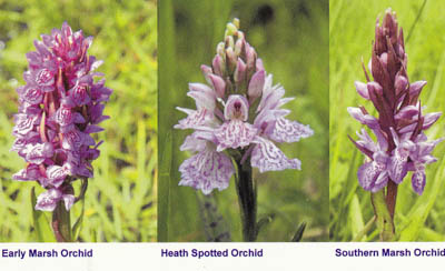 Picture taken from postcard of three different orchid flowers