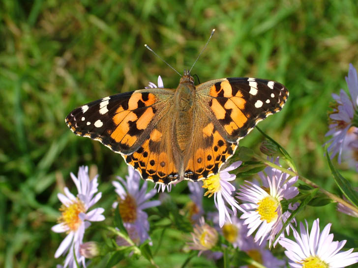 Painted Lady with open wings on a flower