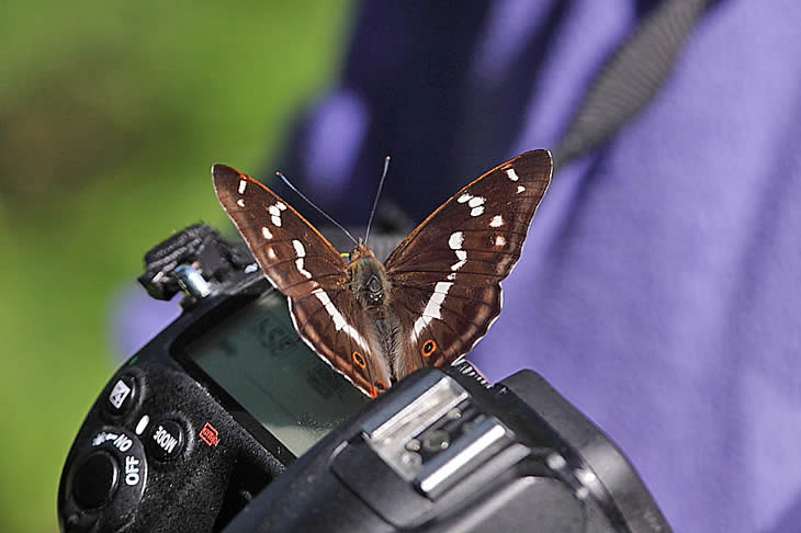 Purple Emperor butterfly on a camera