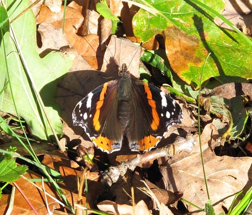 Red Admiral on fallen leaf