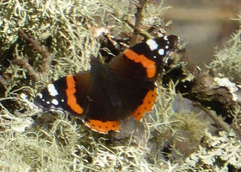 Red Admiral with open wings