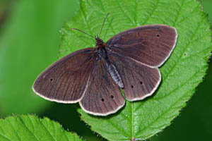 Ringlet view of upper wings