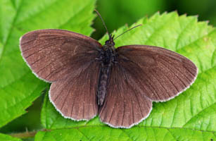 Ringlet with open wings from above