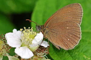 Ringlet view of underwings