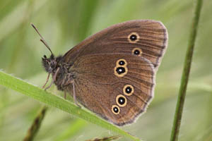 Ringlet showing underwings