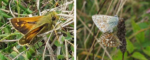 Left: Silver-spotted Skipper. Right: pair of mating Chalkhill Blues