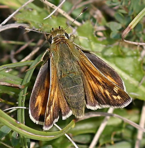 Silver-spotted Skipper male