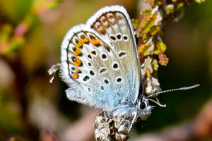 Silver-studded Blue from the side, showing the silver studs