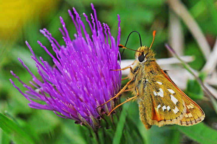 Silver-spotted Skipper on a thistle flower