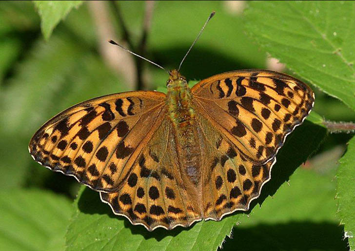 Silver-washed Fritillary with open wings